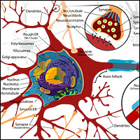 Neuron cell diagram. Source: Wikipedia.org