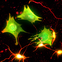 Neuron Glia interaction, Photograph: Khazaei, flickr.com