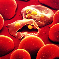 Malaria parasites entering red blood cells